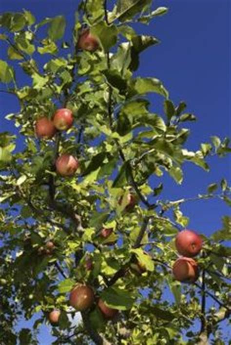 organic pest for fruit trees 3 pesticides for fruit trees your best diy