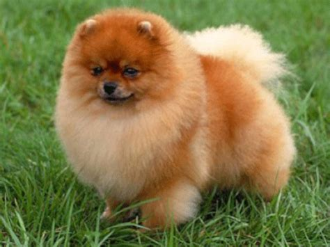 different pomeranian sizes get informed about the cutest dogs in the world