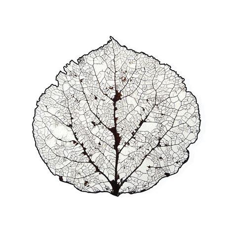 aspen leaf skeleton 1 by agustin goba royalty free and