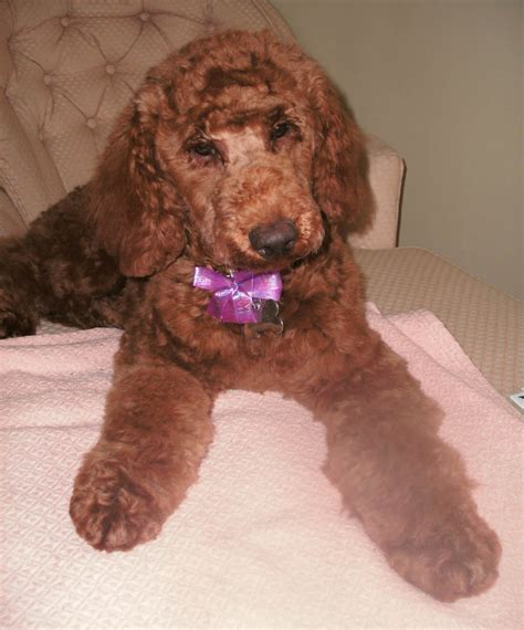 puppies 1st puppies grooming poodle forum standard poodle poodle miniature poodle