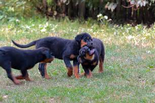 rottweiler dogtime rottweiler puppies dogtime