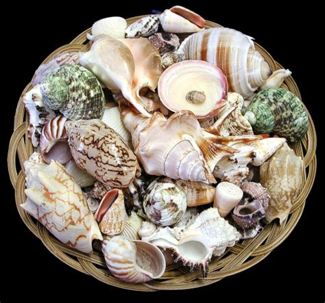 Check Shell Gift Card - seashells gift baskets sea shells seashell sea shell gifts