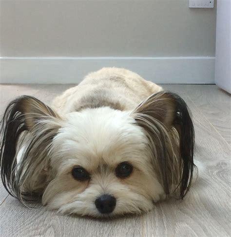 toto breed toto petlondon models professional pet model agency