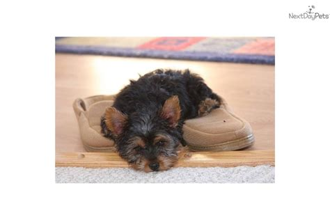 teacup yorkie springfield mo yorkie puppies terrier puppy for sale in springfield mo breeds picture