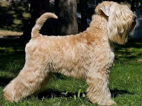 Wheaten Terrier Shedding by Soft Coated Wheaten Terrier Cinnamon Breeds Picture