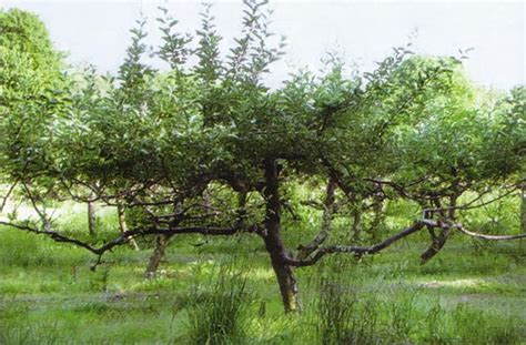 pruning fruit trees in the fall country lore pruning fruit trees helps them more