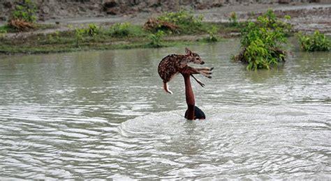 of saving baby deer brave boy risks his to save baby deer from drowning enpundit