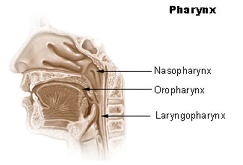 what are the three sections of the pharynx respiratory system
