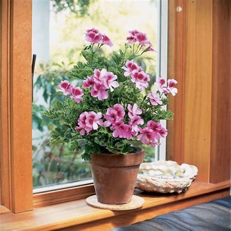 best scented geranium indoors geranium roger s delight pelargonium hybrid