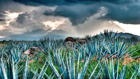 How Tequila Is Made In Pictures Drink Tequila Paste