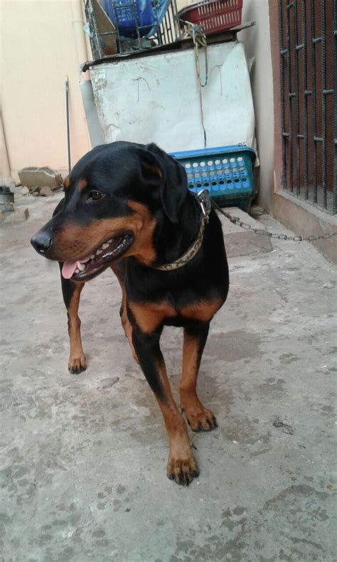 cheap rottweilers for sale rottweiler for sale at cheap price pets nigeria