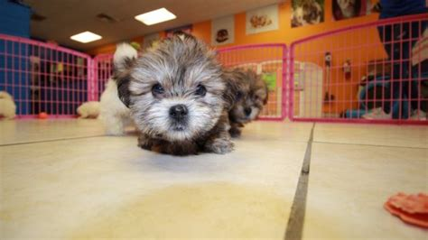 shichon puppies for sale in ga eye catching teddy puppies for sale in hypoallergenic non shedding