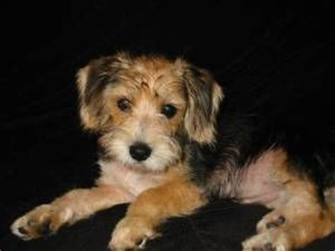 beagle poodle mix puppies for sale poogle beagle poodle poodle mix puppies my fav beagles poodle and
