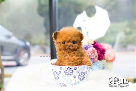 rolly teacup puppies reviews 2017 01 11 customer review zoey rolly teacup puppies