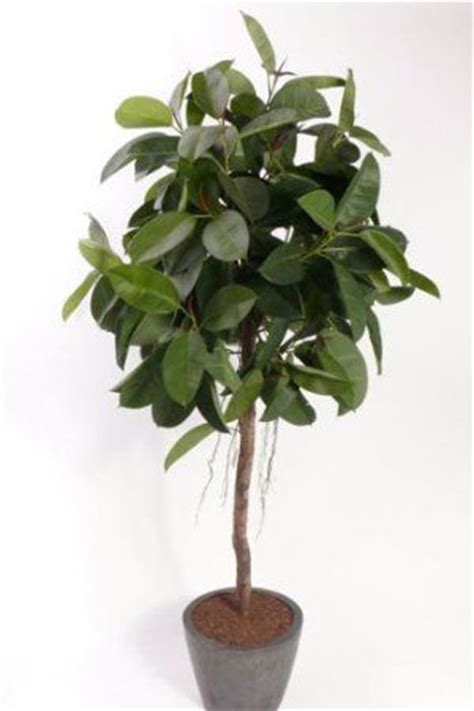 artificial rubber tree ft  high  incredibly