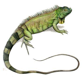 imagenes de iguanas rojas iguana tienda de mascotas pethome
