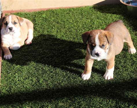 artificial turf for dogs artificial grass in oklahoma city ok from nexgen lawns