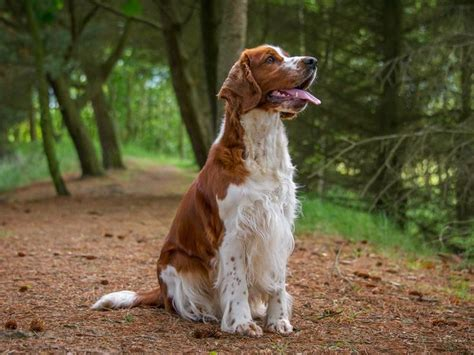 Do Springer Spaniels Shed by 25 Best Ideas About Springer Spaniel On