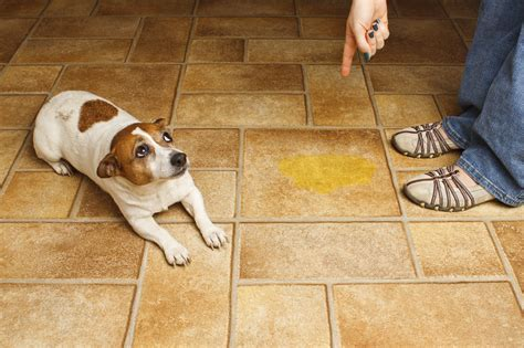 how to break a dog from peeing in the house our dog training k 9 solutions