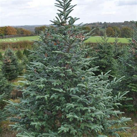 Fraser Fir Tree - fraser fir trees for sale sendmeachristmastree