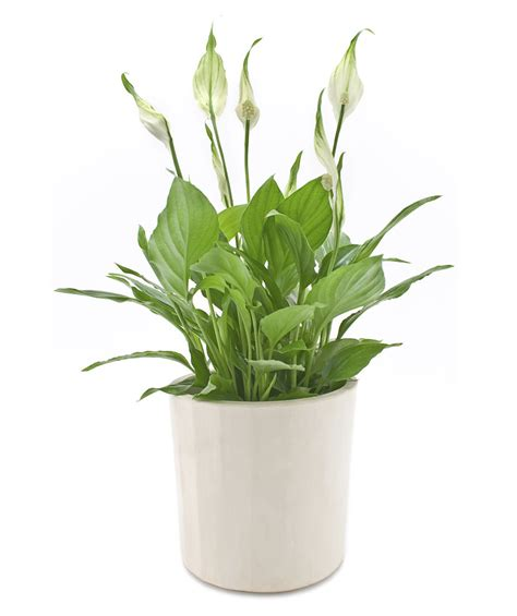 plant health can this peace lily be saved gardening peace lily spathiphyllum spp 7 office plants you won