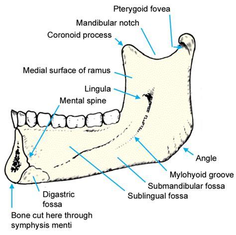 mandible diagram image gallery mandible diagram