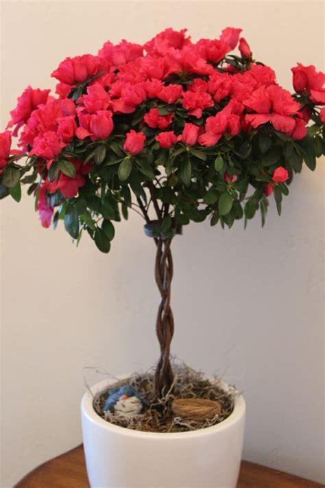 red azalea topiary houseplants beautiful  xmas care
