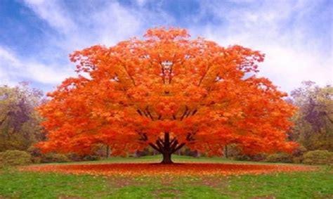 alberi colorati da giardino gli aceri per decorare il giardino