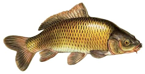carp clipart - /animals/aquatic/fish/C/carp/carp_clipart ...