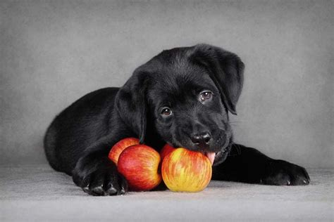 is it ok for dogs to eat apples apples for dogs 101 can dogs eat apples