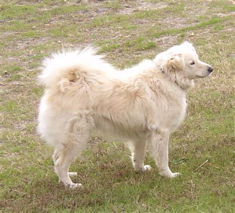 golden retriever american eskimo mix japanese spitz mix golden retriever image breeds picture