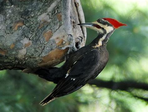 critically endangered woodpeckers the random science
