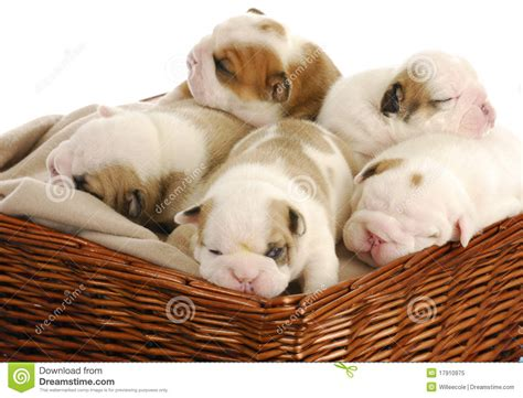 litter of puppies litter of puppies royalty free stock photo image 17910975
