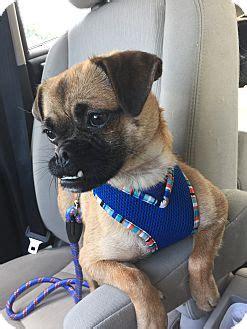 pugs for adoption in nj saddle brook nj pug mix meet paisley a for adoption