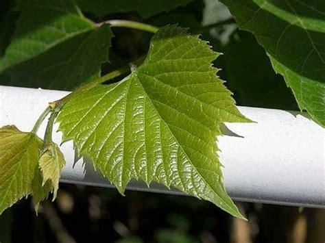 manfaat  khasiat manfaat daun anggur  kesehatan