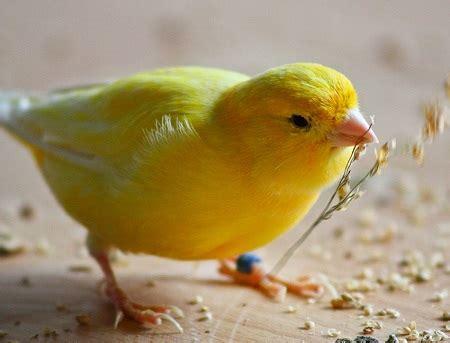 canarini alimentazione la corretta alimentazione di un canarino marsalaoggi