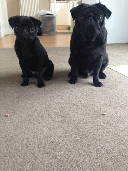 black pugs for sale uk two black pugs for sale liverpool merseyside pets4homes