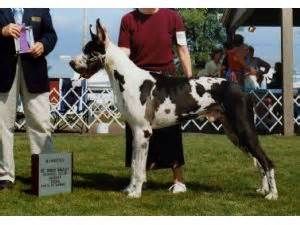 great dane puppies mn great dane puppies in minnesota