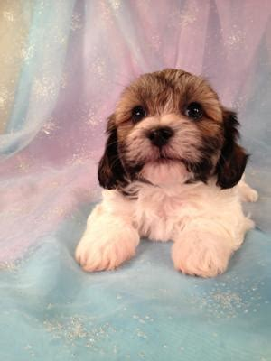 shih tzu rescue milwaukee shih tzu breeders in wisconsin assistedlivingcares