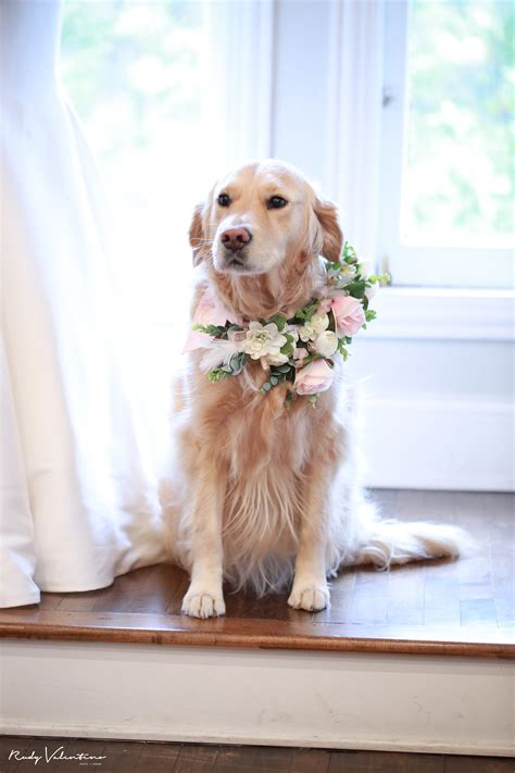 how to keep a golden puppy away from the xmas tree golden retriever serves as flower in wedding exclusive details