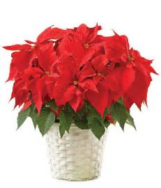 christmas plants christmas flowers poinsettia wallpapers pics