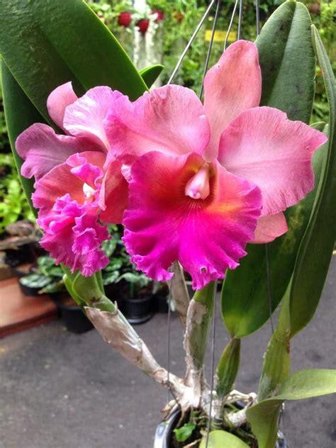 garden orchids and roses auf pinterest orchideen dfte pin von vesna holzm 252 ller auf orchideen pinterest