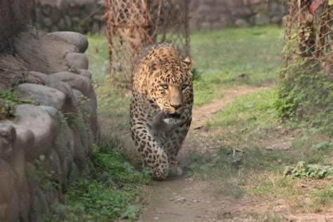 jaguar vs cheetah jaguar vs leopard cheetah spots best leopard 2017