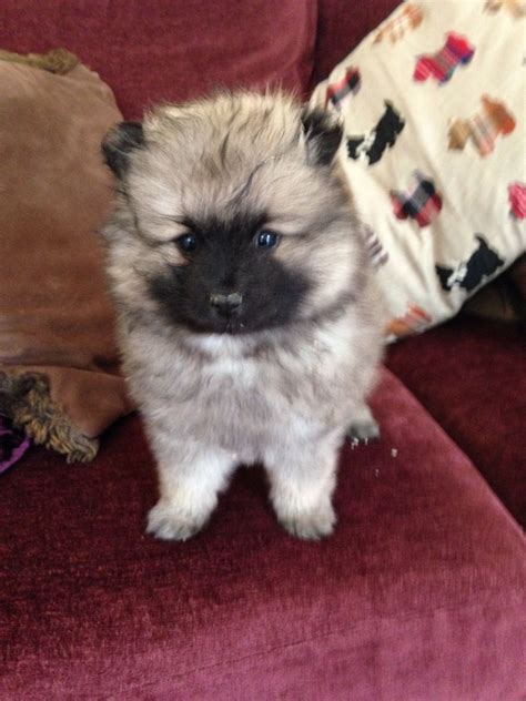 silver pomeranian puppies and gorgeous silver grey pomeranian boy southport merseyside pets4homes