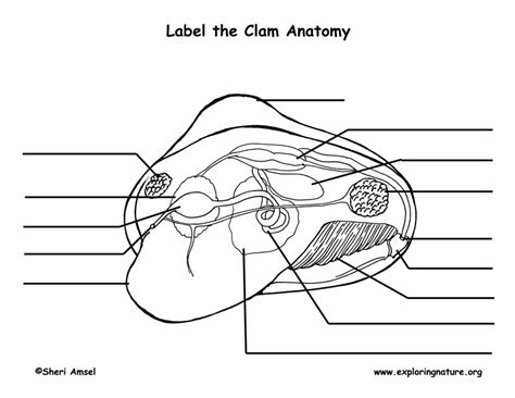 printable clamshell label clam dissection worksheet calleveryonedaveday