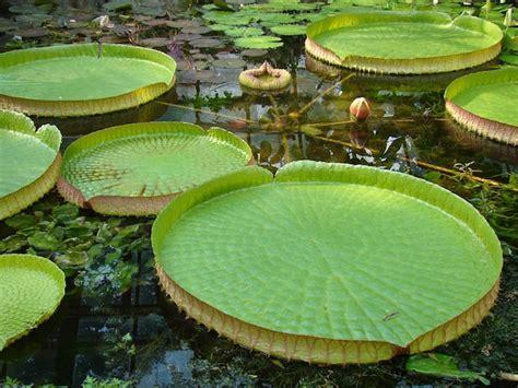 laghetto da giardino piante acquatiche per laghetto da giardino idee green