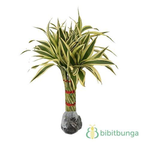 Tanaman Hias Calathea Saputangan bambu rejeki bibitbunga
