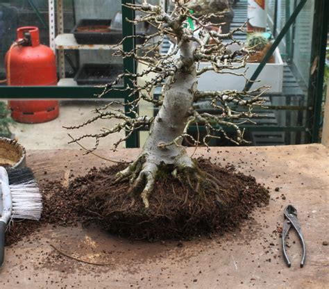 maple tree roots surface root pruning a field maple bonsai