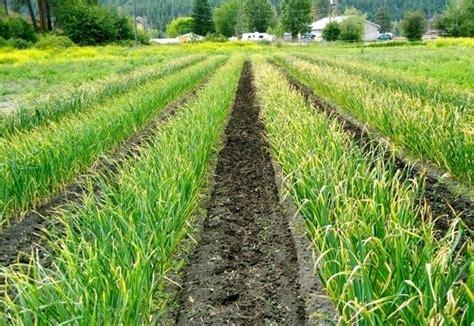 aglio coltivazione in vaso coltivazione aglio orto coltivare aglio