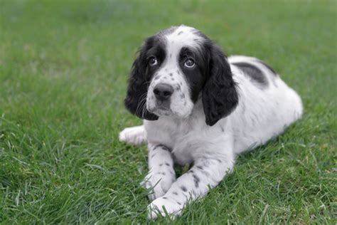 english setter show dogs for sale english setter puppies breed information puppies for sale